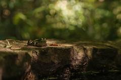 With Time To Spare (brev99) Tags: pool animal woods rocks bokeh frog acr willowwoodarboretum sigma70mm28macro highqualityanimals