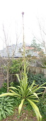 Super-tall plant (Gymea Lily) (Tom Paton) Tags: flowers panorama plants flower unidentifiedplant idplease tall stitched gymealily doryanthesexcelsa
