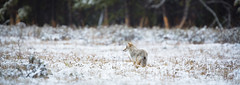 Yellowstone Coyote.jpg (m_tonelli) Tags: coyote usa animals mammal photography nationalpark foto image picture yellowstone wyoming