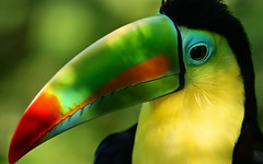 Beautiful Toucan Bird Pictures & HD Wallpapers (hameed.asim) Tags: pictures bird beautiful toucan high definition hd wallpapers