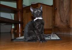 Elle s'appelle Wifi elle a 2 mois (Martial Soula) Tags: pet cat nikon chat nikkor chaton 80200 1755