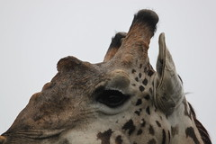 IMG_4048 (Jarod Burns) Tags: africa nationalpark kenya wildlife nairobi safari giraffe nairobinationalpark