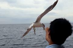 Bulls Eye (Hana Samurai) Tags: urban food bird japan fly seaside wings seagull hunting feathers  prey float shizuoka  survival izu avian atami  glide feedme ferryride    hatsushima   peninnsula