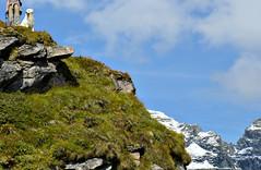 Hiking in the Swiss Alps (balu51) Tags: autumn dog snow mountains fall grass rocks wiking films herbst bluesky september hund alp kuvasz swissalps wanderung 2014 graubünden wandernmithund tschingelhörner hikingwithdog copyrightbybalu51