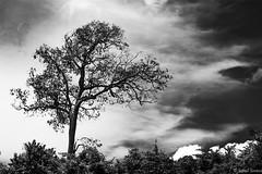 _12T7646 (Rafael Simioni) Tags: primavera branco canon tristeza iii preto e rafael arvore 1ds 70200 ef 28l queimada ecologia pousoalegre sustentabilidade simioni