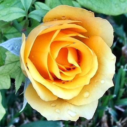 Rosa groga.
