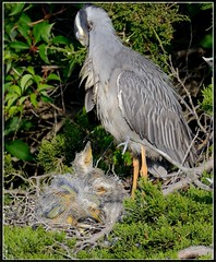 """Another bunch of babies!!!  Yellow Crowned Night Herons (Christine Fusco ~ """"Jersey Strong"""") Tags: spring babies adult nest chicks marsh waders southjersey 2015 yellowcrownednightheron ycnh tamron600"""