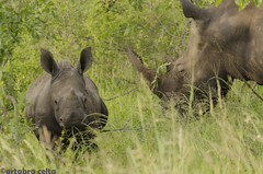 Rhinos (artabracelta) Tags: rinoceronte rhino africa southafrica sudafrica summer verano safari nikon d5100 tamron 70300 teleobjetivo fotografia photo portrait retrato animal naturaleza nature sabana kruger skukuza satara