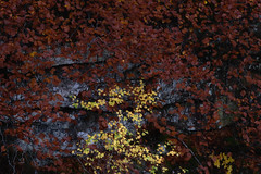 Different (George Pancescu) Tags: nikon d810 70200mm nature natural leaves leaf lateautumn colors outdoor trees scotland unitedkingdom abstract