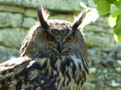 Owl (Cathpetsch) Tags: owl uil scotland schotland animal dier feathers wildlife nature natuur birdofprey dunrobincastle roofvogel roofvogelshow birdshow contactgroups andromeda50