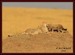 FEMALE CHEETAH WITH HER CUBS (Acinonyx jubatus).....MASAI MARA....SEPT 2015. (M Z Malik) Tags: nikon d800e 400mmf28gedvr kenya africa safari wildlife masaimara kws exoticafricanwildlife exoticafricancats flickrbigcats cheetah cheetahfamily ngc