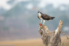 Osprey - *Explore (Richard Edwards Photography) Tags: red