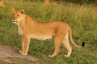 A fine lioness