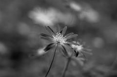 Anemone apennina (ΞSSΞ®®Ξ) Tags: ξssξ®®ξ pentax k5 flower angle 2017 bokeh blackandwhite plant outdoor abstract monochrome smcpentaxm50mmf17 depthoffield underwood woodland spring anemoneapennina macro focus wind