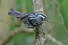 Black-and-White Warbler (Alan Gutsell) Tags: blackandwhite warbler blackandwhitewarbler blacjk migration songbird texasbirds texas galveston alan wildlife nature