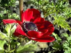 Frühlingsbeginn (schasa68) Tags: flowers blumen rot red pflanze nahaufnahme macro tiefenschärfe gewächs natur nature natureza garten mohn mohnblume blume fleurs