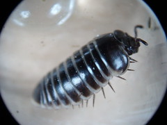 Pill Millipede - Glomeris marginata (Fred's Uncle) Tags: gillhamwoods millipede myriapod
