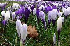Krokuswiese (Gartenzauber) Tags: natur park sony blau krokus saariysqualitypictures floralfantasy doublefantasy ngc npc