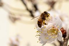 벌 / bee (Daegeon Shin) Tags: nikon d750 nikkor 55mm 55mmf28 macro 벌 bee 365 flower flor plum ciruela abeja spring primavera dof animal insecto insect 니콘 니콘렌즈 마크로 접사 꽃 매화 봄 심도 동물 곤충