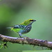 Speckled tanager / Calliste tiqueté