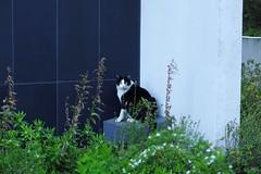 Today's Cat@2017-04-13 (masatsu) Tags: cat thebiggestgroupwithonlycats catspotting pentax mx1 osaka
