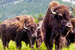 Bison Reintroduced to Banff National Park for First Time in 140 Years (ecodaily1) Tags: banffnationalpark bison karstenheuer northamerica
