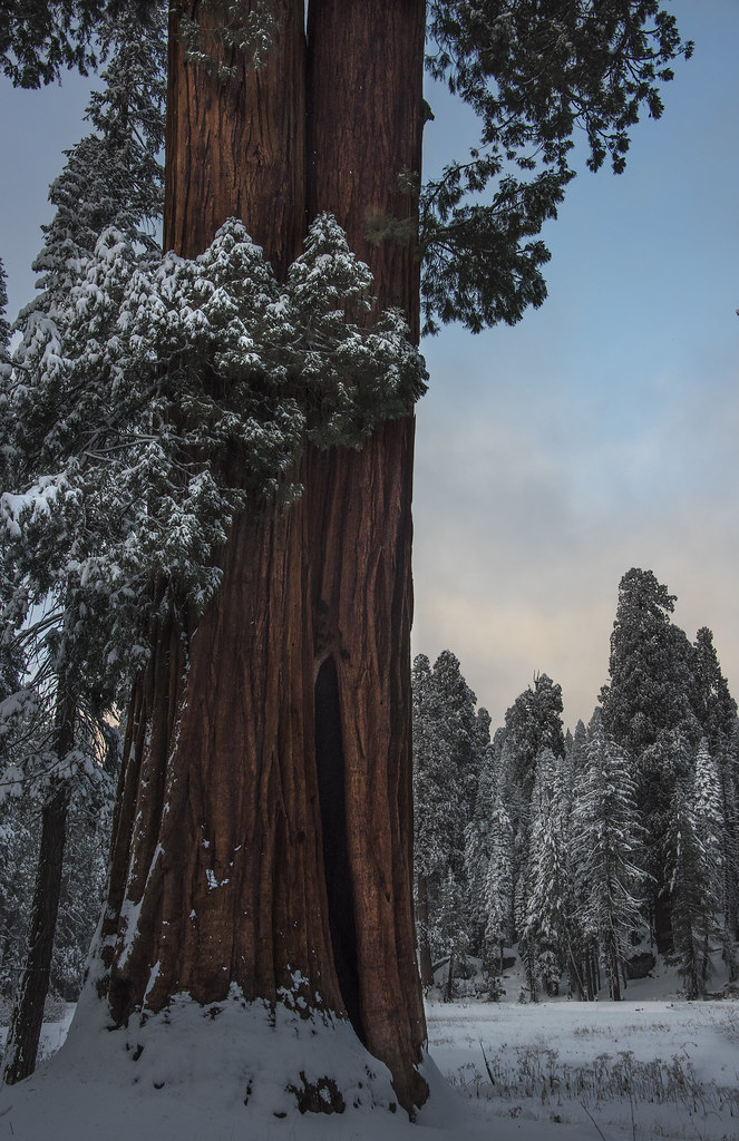 Sequoia in Snow