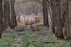 4D3A7803 (marcwalter1501) Tags: damadama daim forêts animaux selestat illwald 5dmk4 canon cervidé