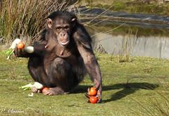 Lunchtime at the zoo Beekse Bergen NL (pclaesen) Tags: lunchtime zoo dierentuin safariparkbeeksebergen beeksebergen nederland netherlands holland brabant chimpansee chimpanzee voederpresentatie animalphotography animal animals mammal mammals zoogdieren zoogdier primate primaat primaten sonyhx300 sonyphotography pantroglodytes outside outdoors
