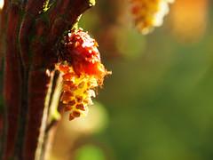larch (mark.griffin52) Tags: olympusem5 england buckinghamshire cheddington spring garden flower tree larch larixkaempferijacobsenspyramid
