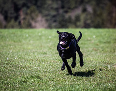 IMG_5189 (TSET0147) Tags: canon canon7d canonef70200f4lusm llens redring hund dog labrador mischling bokeh