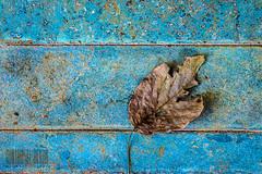 The dried leaf (Himanshu Joshi Bangalore) Tags: leaves leaf colours colour dried nikon 50mm prime d610 natural india chikmagalur bangalore karnataka