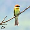 Chestnut headed Bee eater (AJ INSATIABLE) Tags: birdphotography birds angrybirds indianbirds westernghats rosemala kerala birdwatching wanderlust india hillstation greenbeeeater beeeaters chestnutheadedbeeeater