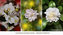 Flowers-Collection-DSC_9980 (fatima_suljagic) Tags: flowers flowerphotography professionalphotographer prints fineartprints canvasprints photographermelbourne photoprints royaltyfreeimages beautifulpicture