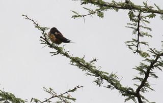 IMG_4993a - Red-rumped Swallow (Hirundo daurica), Ndutu, Arusha Region, Tanzania - GPS #374