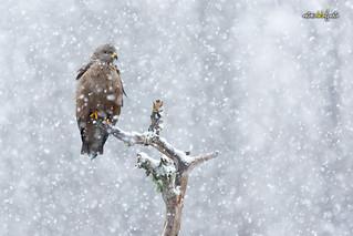 Nieve...y el milano negro