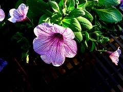 #Petunia (RenateEurope) Tags: renateeurope iphoneography nature spring violet flowers flora petunia awesomeblossoms