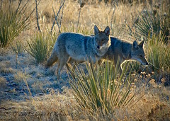 Coyotes Hunting at Sunrise (Ginger H Robinson) Tags: coyotes hunting canislatrans canine prairiewolf dogfamily predator omnivore savvy clever yip bark howl growl morninglight sunrise chaparral highdesertplains mountainfoothills northamerica colorado nikon animals wildlife