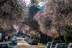 Signs of Spring 🌸🌸🌸 Vancouver, BC (Michael Thornquist) Tags: sakura 桜 cherryblossoms pointgrey vancouver britishcolumbia dailyhivevan vancitybuzz vancouverisawesome veryvancouver 604now photos604 explorecanada ilovebc vancouverbc vancouvercanada vancity pacificnorthwest pnw metrovancouver gvrd canada