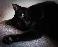 bc2 (Jowheretogo) Tags: blackcat cat pets simma