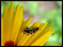 IMG_3652 Protection Racquet 6-19-11 (arkansas traveler) Tags: ladybug ladybuglarva bichos insects bugs flowers coreopsis nature naturewatcher natureartphotography bokeh bokehlicious macro macrolicious