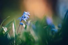 Enlightening (--StadtKind--) Tags: frühling spring stadtkind depthoffield dof bokehlicious bokeh alphaddicted sonyalpha sonyilce7m2 teamsony sony blüte blume pflanze plant scylla flores fleur flower
