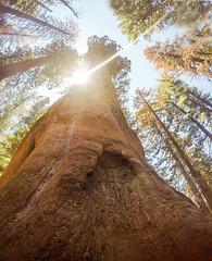 Yosemite National Park Tuolumne Grove (nikkinicknicol) Tags: yosemite national park nature woods land view sierra nevada california tuolumne grove sequoia trees