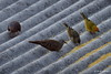 Ruddy Ground Dove with Saffron Finch, Ilhabela, Brazil CQ4A8787 (Hart Walter) Tags: serradomar birdsoftheatlanticforest santos guaruja ilhabela islandofsaosebastiao mealyamazon kite caracara kingfisher saopedronaturereserve blackvulture phyllomysthomasi giantatlantictreerat tanagers kelpgull bluedacnis brownboobie pigeon maskedwatertyrant neotropicalforest surfing squirrelcuckoo