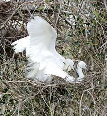 Little Egrets (Egretta garzetta) mating ... (berniedup) Tags: bird parcornithologique pontdegau camargue littleegret egrettagarzetta egret taxonomy:binomial=egrettagarzetta
