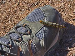 Caterpillar on Buckskin Mountain (Dave Bezaire) Tags: label~ rating4~ csouthwest sanimal vorig parker arizona unitedstatesofamerica
