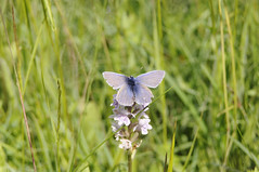 Common Blue (Polyommatus icarus) (Sky and Yak) Tags: blue nature butterfly wildlife meadow lepidoptera icarus common grassland oxfordshire polyommatus bernwood