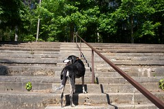 25/52 in the grandstand (huckleberryblue) Tags: trees summer dog gracie hound coonhound bluetickcoonhound week25 52weeksfordogs historicocconeecheespeedwaytrails
