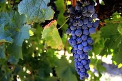 McLaren Vale Vineyard (ashleygrima) Tags: vineyard wine grapes wineries mclarenvale