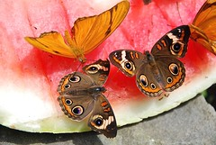 Watermelon feast! (ineedathis, the older I get, the more fun I have!) Tags: summer newyork nature closeup butterfly garden insect longisland commonbuckeye flambeau dryasiulia juliabutterfly junoniacoenia juliaheliconian d80 nikond80 sweetbriarnaturepreserve iuliajulia